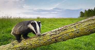 Badger climbing on a tree at spring GB
