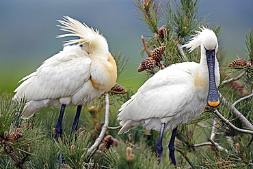 Eurasian Spoonbills displaying, Marquenterre Somme France