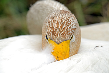 Whooper swan at rest, Somme France