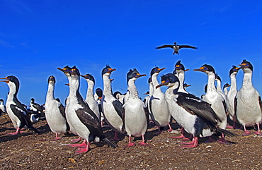 Imperial Cormorants in front of colony, Falkland Islands