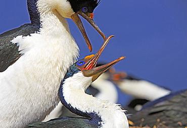Imperial Cormorants mating, Falkland Islands