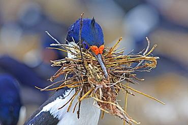 Imperial Cormorant building its nest, Falkland Islands