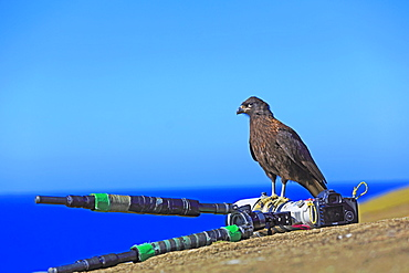Striated caracara on a camera, Falkland islands
