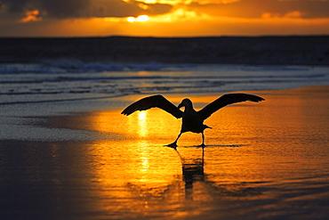 Southern giant petrel on a beach at sunrise-Falkland islands