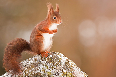 Red squirrel on a rock, Northern Vosges France