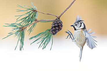 European Crested Tit landing on cone pine, France