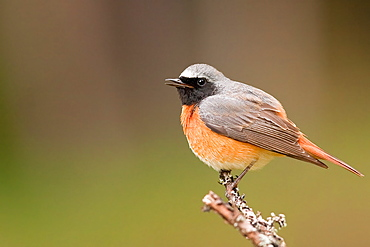 Common Redstart on a branch, Northern Vosges France