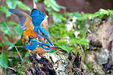 Common Kingfisher mating, Northern Vosges France