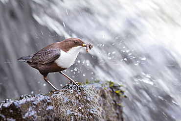 White-throated Dipper with prey, Northern Vosges France