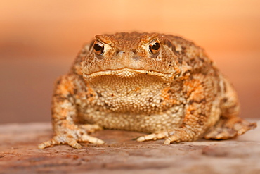 Portrait of European Toad, Northern Vosges France