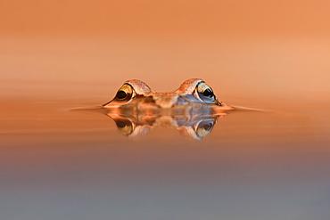 Glance of European Frog, Northern Vosges France