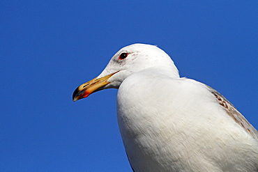 Immature yellow-legged gull portrait