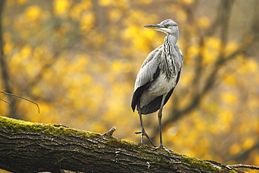 Grey Heron on a branch in autumn, Alsace France