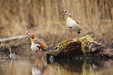 Egyptian geese on the bank in winter, Alsace France