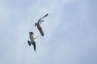 Great Black-backed Gulls with a comb in the beak, France