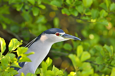 Portrait of Night Heron, Dombes France
