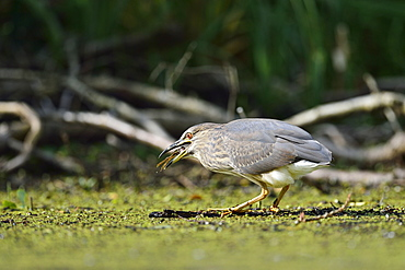 Night Heron catching a frog, Dombes France