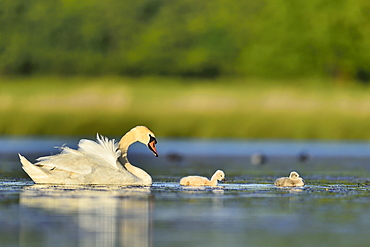 Mute Swan and young on the water -The Dombes France