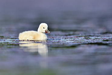 Young Mute Swan on the water -The Dombes France