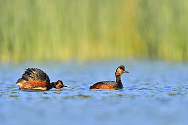 Black-necked Grebes on the water, Dombes France