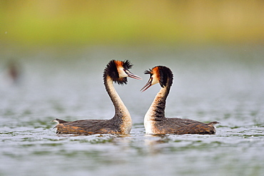 Great Crested Grebe displaying on water, La Dombes France