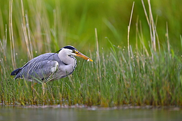 Grey Heron fishing in the water, Dombes France