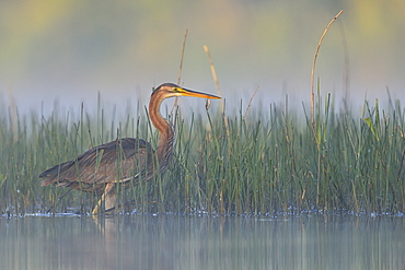 Purple Heron fishing in the water, Dombes France