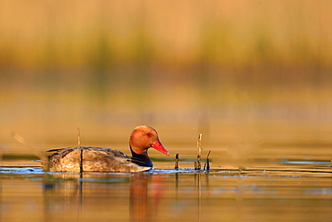 Pochard male on water, Dombes France