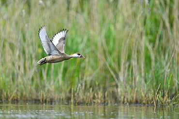 Red-crested Pochard female in flight, Dombes France