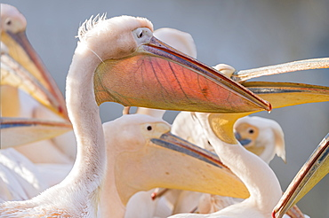 Great white pelican portrait in Rift valley, Ethopia