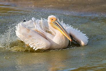 Great white pelican landing in Rift valley, Ethopia