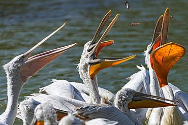 Dalmatian pelicans fed in Greece