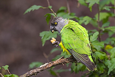 Senegal parrot eating on a branch, Senegal