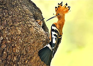 Hoopoe feeding its young in the nest, Botswana