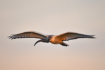 Sacred Ibis in flight at sunset, Botswana