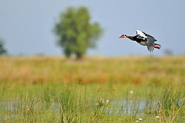 Spur-winged goose in flight, Okavango Delta Botswana
