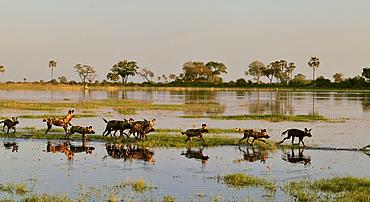 Wild dogs running in water, Botswana
