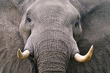 Portrait of African Elephant, Botswana
