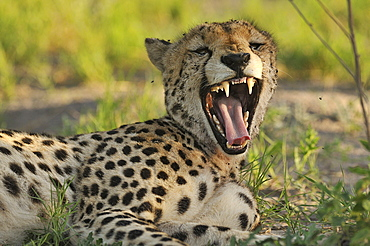 Portrait Cheetah yawning in the savannah, Botswana