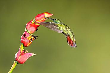 Green-breasted mango male foraging in flight, Costa Rica