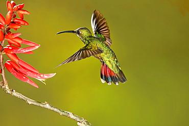 Green-breasted mango female foraging in flight, Costa Rica