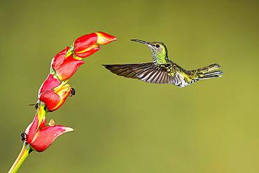 White-necked Jacobin female foraging in flight, Costa Rica