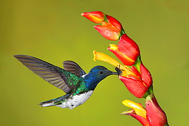 White-necked Jacobin male foraging in flight, Costa Rica