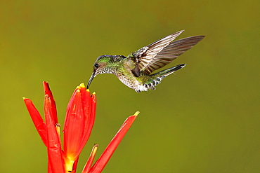White-necked Jacobin female foraging in flight, Costa Rica