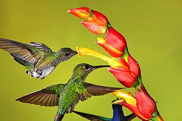 White-necked Jacobin foraging in flight, Costa Rica