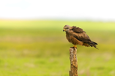 Black kite on a pole in Castille, Spain