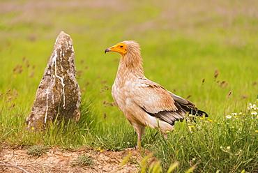 Egyptian vulture in Castille, Spain