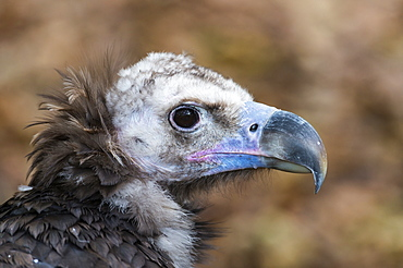 Monk vulture portrait in the Pyrenees range, Spain