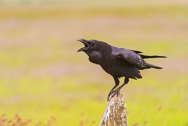 Common raven shouting in Castille, Spain