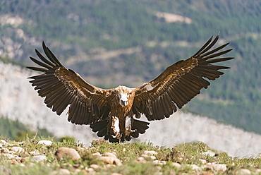 Eurasian griffon vulture landing in Catalonia- Spain